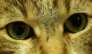 cica szem, kép