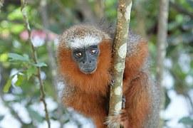 aranyos majom kép