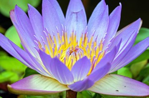 water-lily-1535906__340
